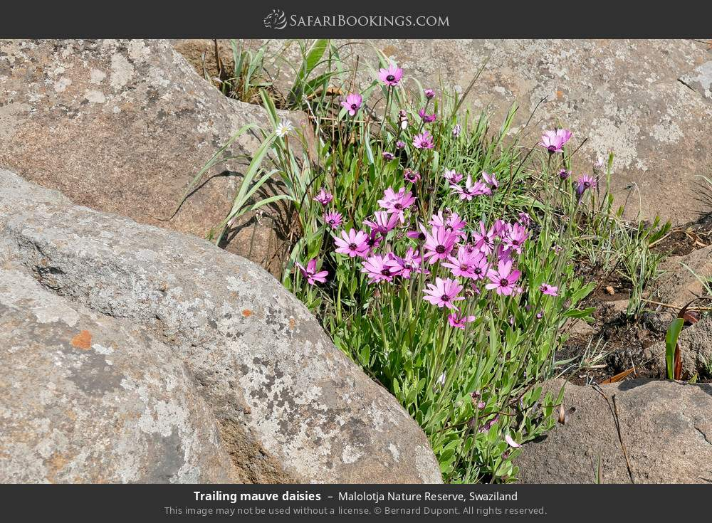 Trailing mauve daisies in Malolotja Nature Reserve, Swaziland