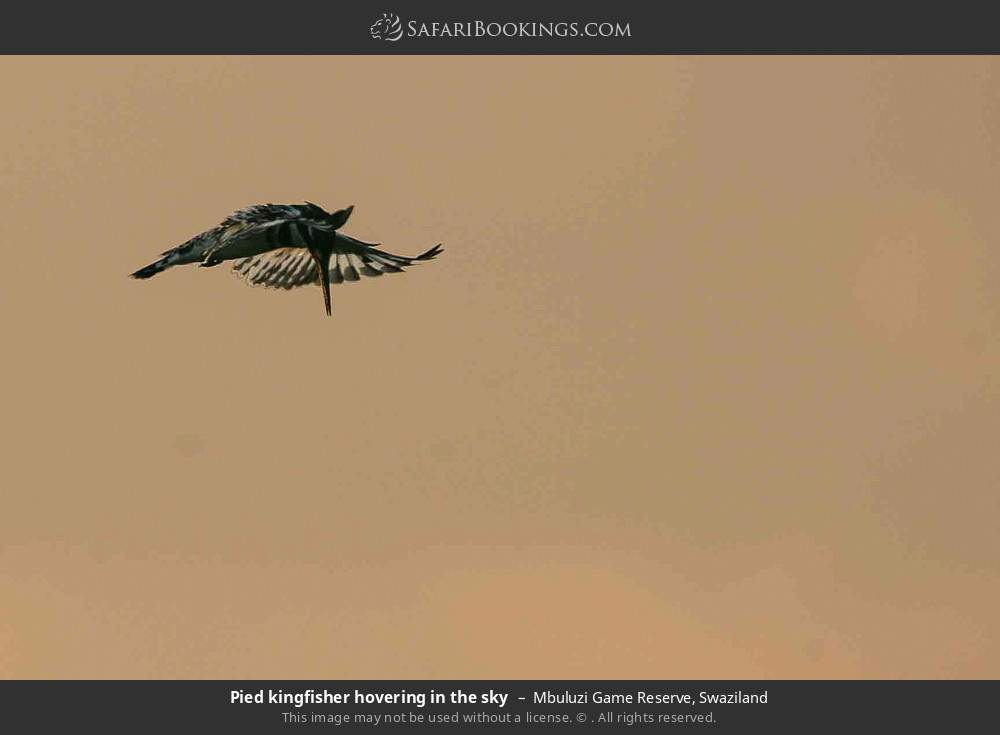 Pied kingfisher hovering in the sky in Mbuluzi Game Reserve, Swaziland