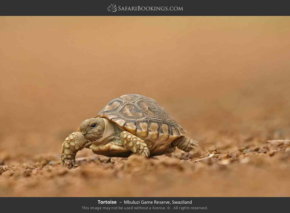 Tortoise in Mbuluzi Game Reserve, Swaziland