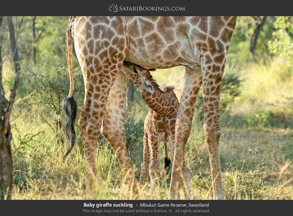 Baby giraffe suckling in Mbuluzi Game Reserve, Swaziland
