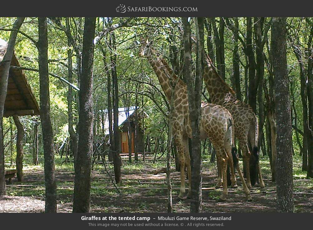 Giraffes at the tented camp in Mbuluzi Game Reserve, Swaziland