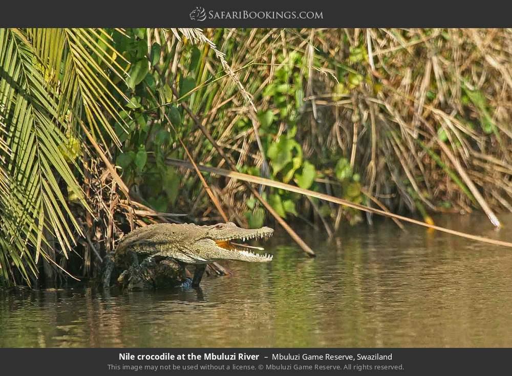 Nile crododile at the Mbuluzi River in Mbuluzi Game Reserve, Swaziland