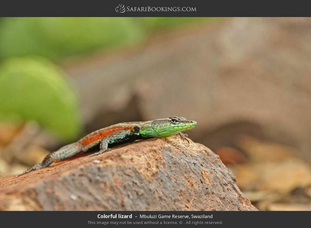 Colorful lizard in Mbuluzi Game Reserve, Swaziland