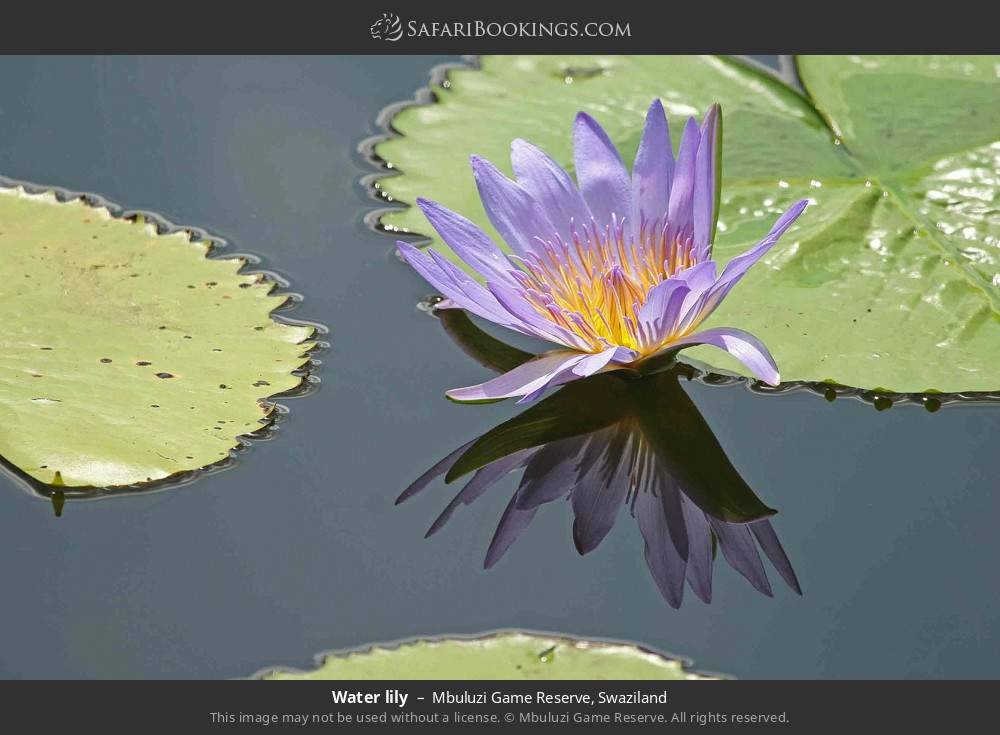 Waterlily in Mbuluzi Game Reserve, Swaziland