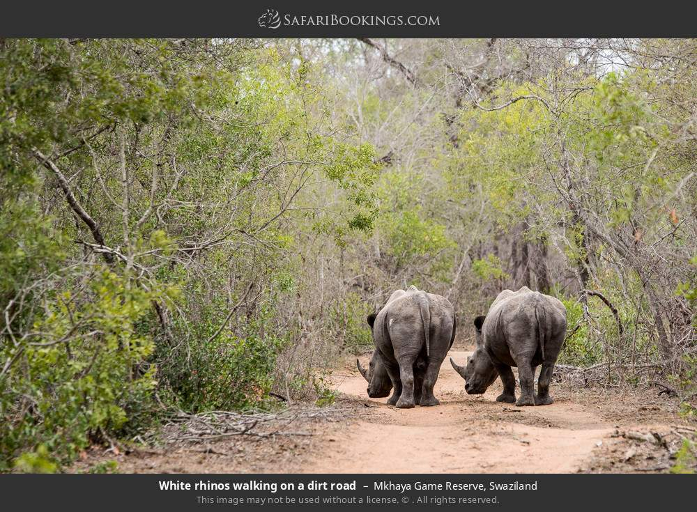 White rhinos walking on a dirt road in Mkhaya Game Reserve, Swaziland