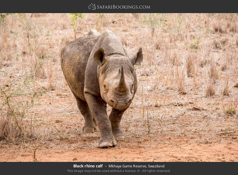 Black rhino calf in Mkhaya Game Reserve, Swaziland