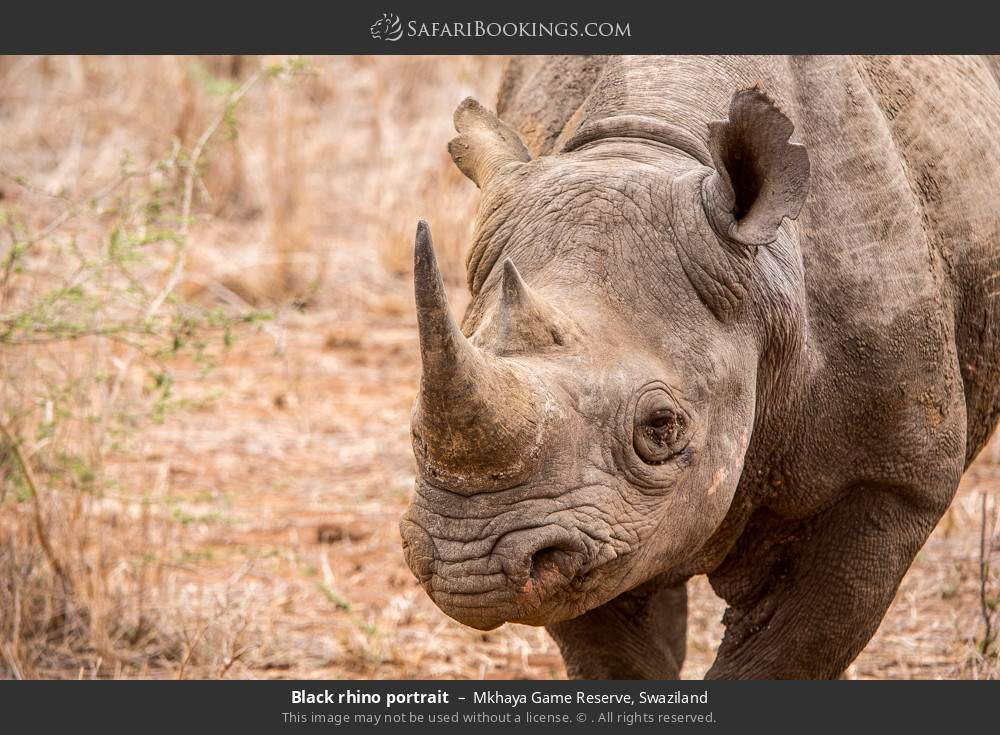 Black rhino portrait in Mkhaya Game Reserve, Swaziland