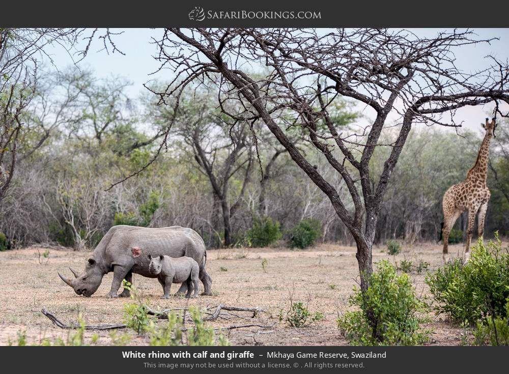 White rhino with calf and giraffe in Mkhaya Game Reserve, Swaziland