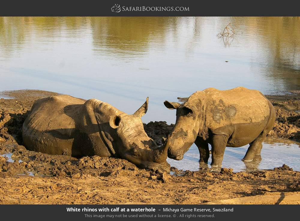 White rhinos with calf at a waterhole in Mkhaya Game Reserve, Swaziland