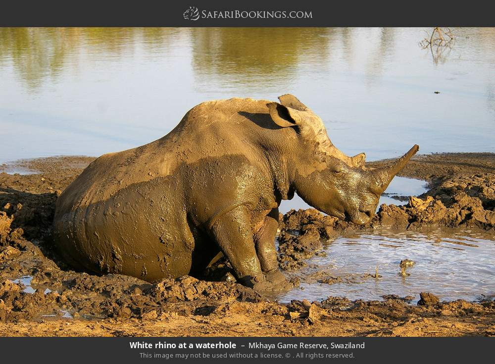 White rhino at a waterhole in Mkhaya Game Reserve, Swaziland