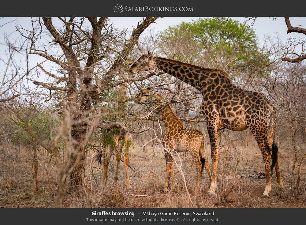 Giraffes browsing in Mkhaya Game Reserve, Swaziland