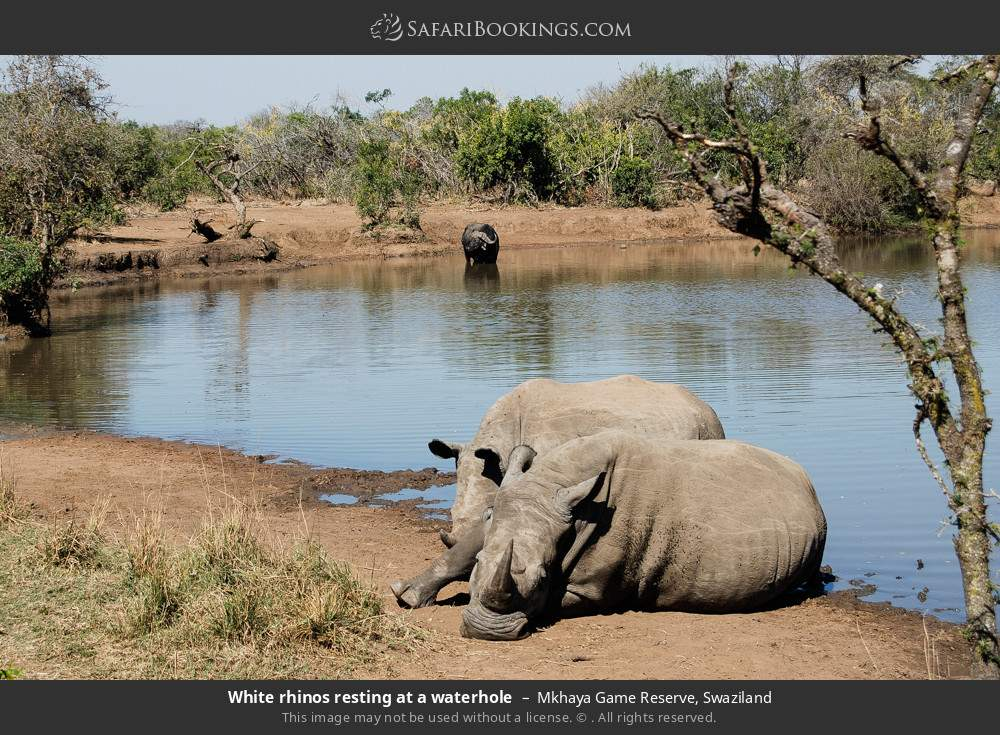 White rhinos resting at a waterhole in Mkhaya Game Reserve, Swaziland