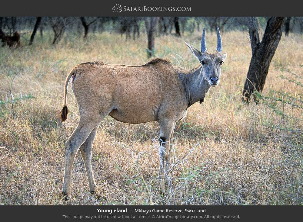 Young eland in Mkhaya Game Reserve, Swaziland