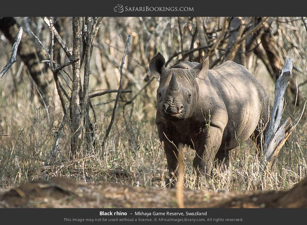 Black rhino in Mkhaya Game Reserve, Swaziland