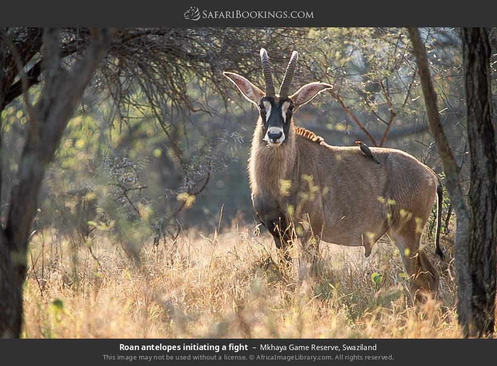 Roan antelope in Mkhaya Game Reserve, Swaziland