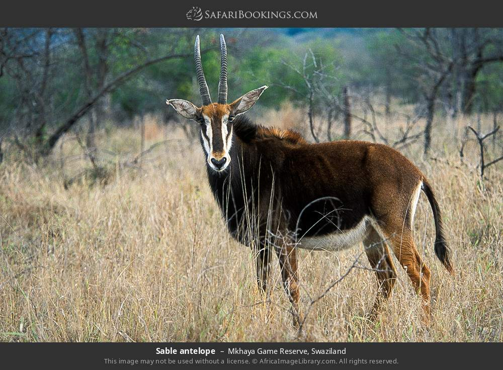 Sable antelope in Mkhaya Game Reserve, Swaziland