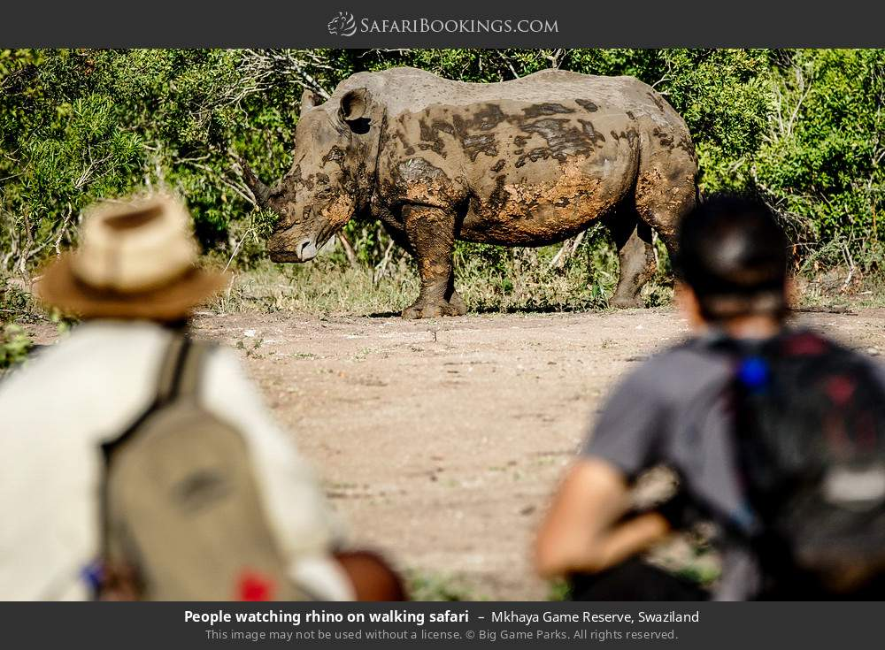 Tourists watching rhino on walking safari in Mkhaya Game Reserve, Swaziland