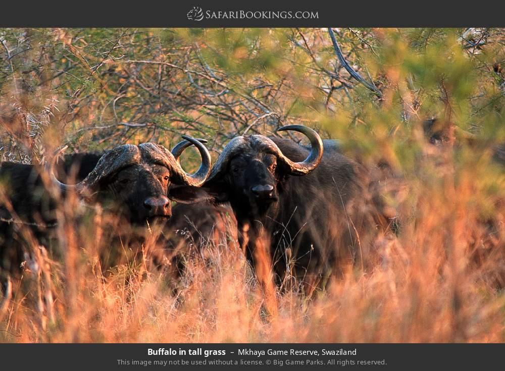 Buffalo in tall grass in Mkhaya Game Reserve, Swaziland