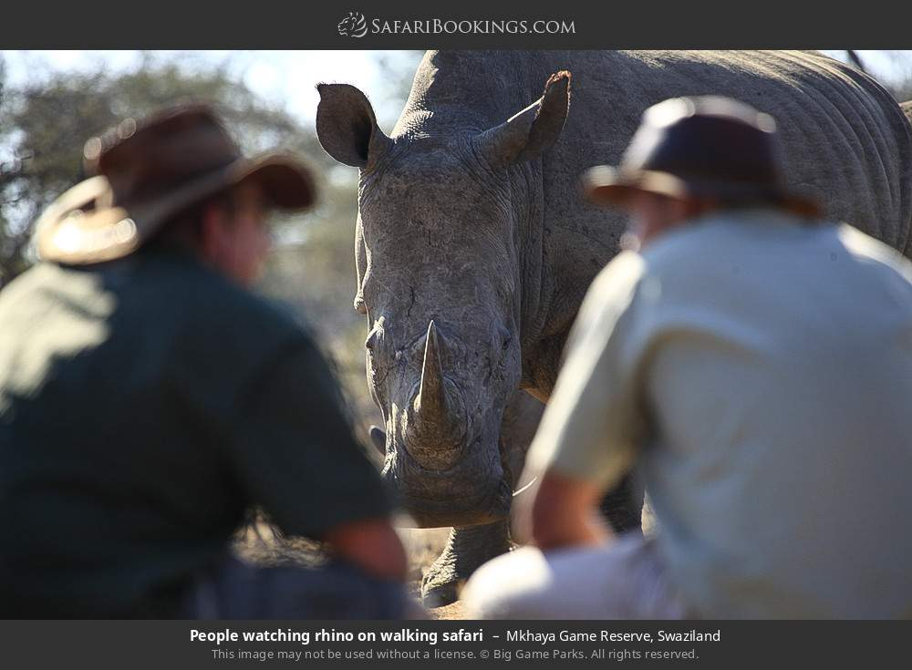 Tourists watching rhino on walking safari in Mkhaya Game Reserve, Swaziland