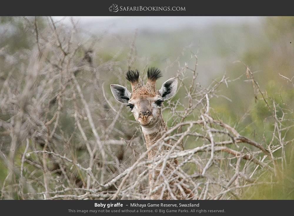 Baby giraffe in Mkhaya Game Reserve, Swaziland