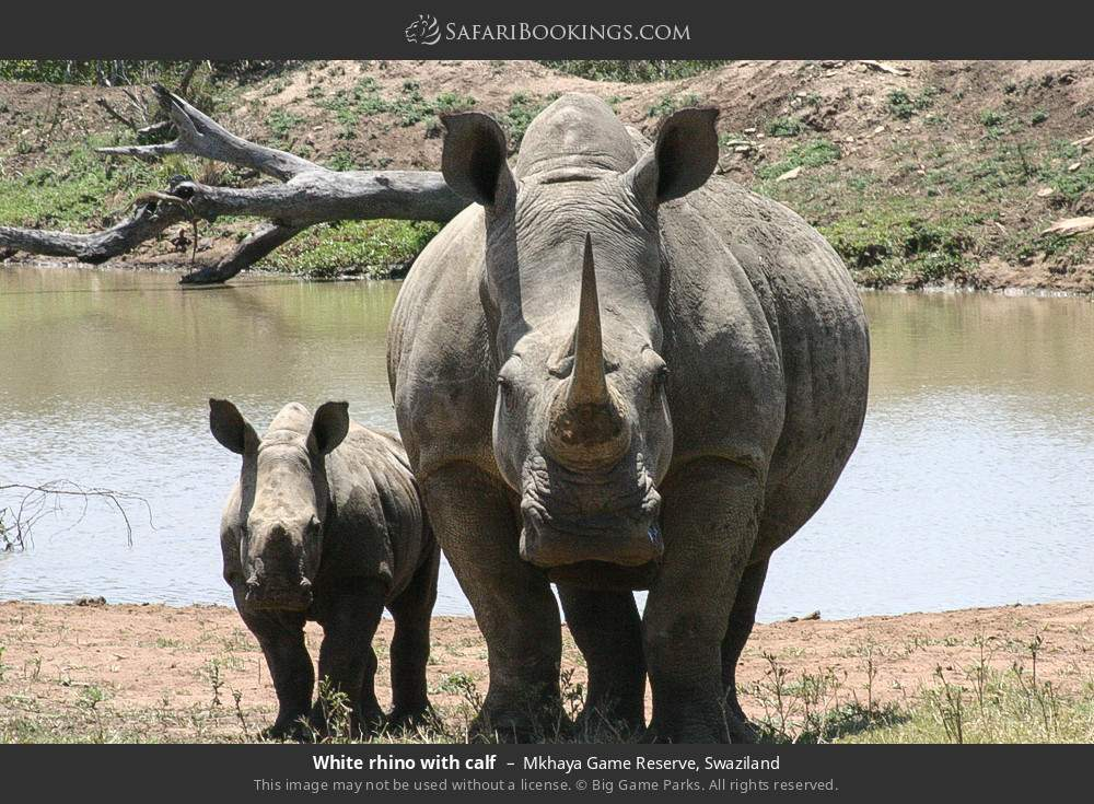 White rhino with calf in Mkhaya Game Reserve, Swaziland