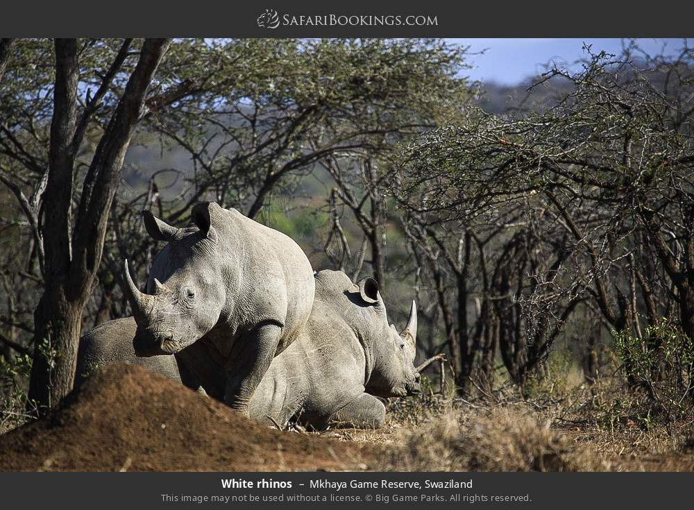 White rhinos in Mkhaya Game Reserve, Swaziland