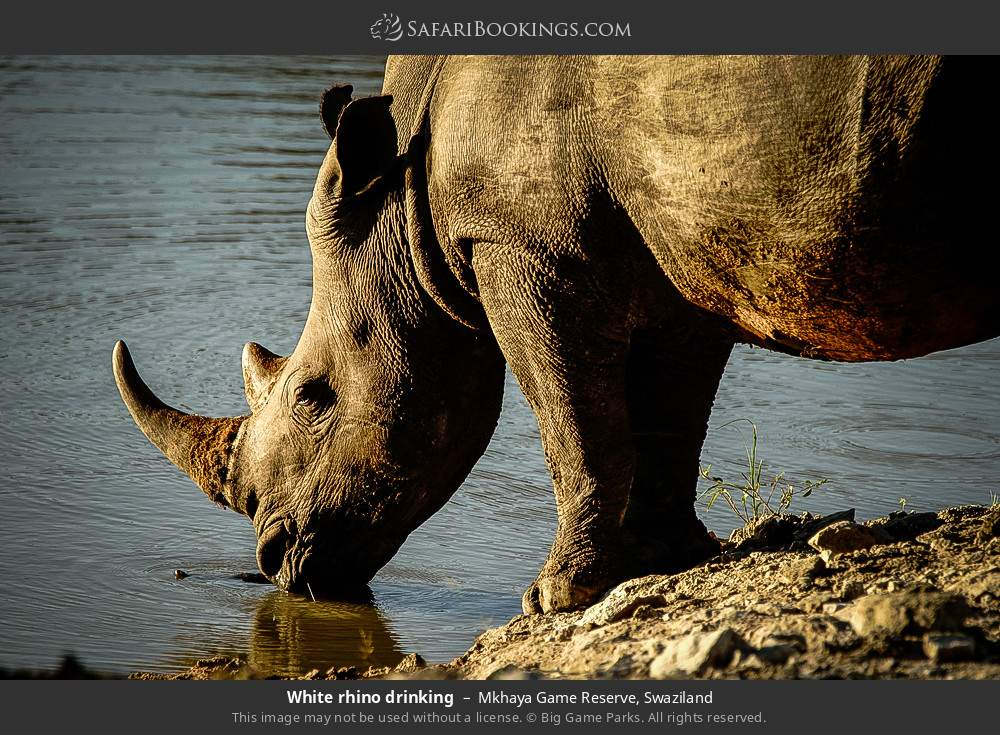 White rhino drinking in Mkhaya Game Reserve, Swaziland