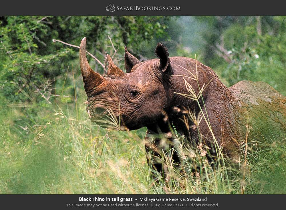 Black rhino in tall grass in Mkhaya Game Reserve, Swaziland