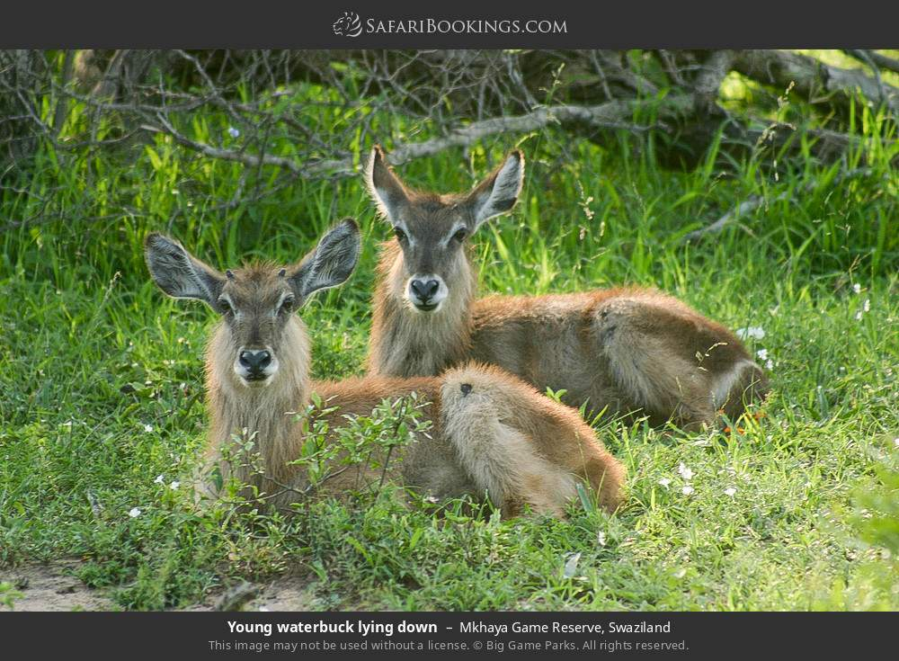 Young waterbuck lying down in Mkhaya Game Reserve, Swaziland