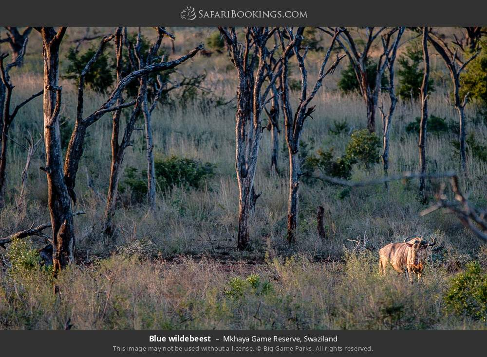 Blue wildebeest in Mkhaya Game Reserve, Swaziland