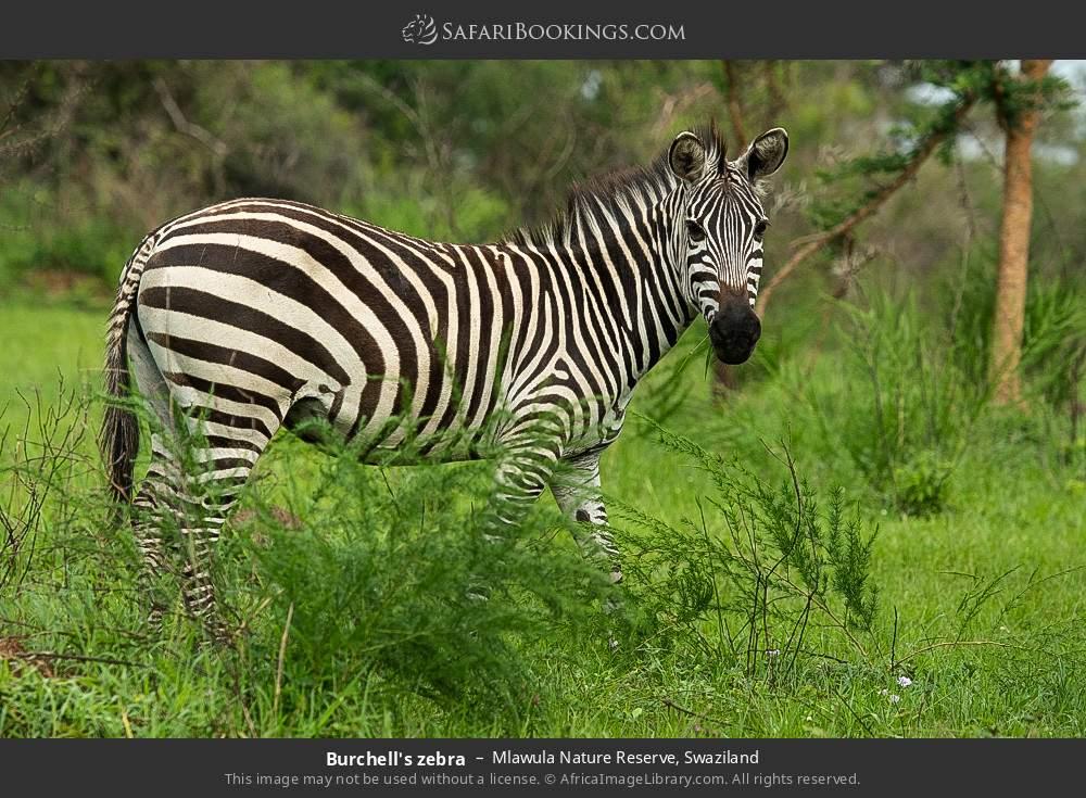Burchell's zebra in Mlawula Nature Reserve, Swaziland