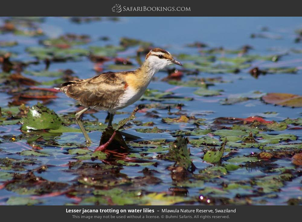 Lesser jacana trotting on water lilies in Mlawula Nature Reserve, Swaziland