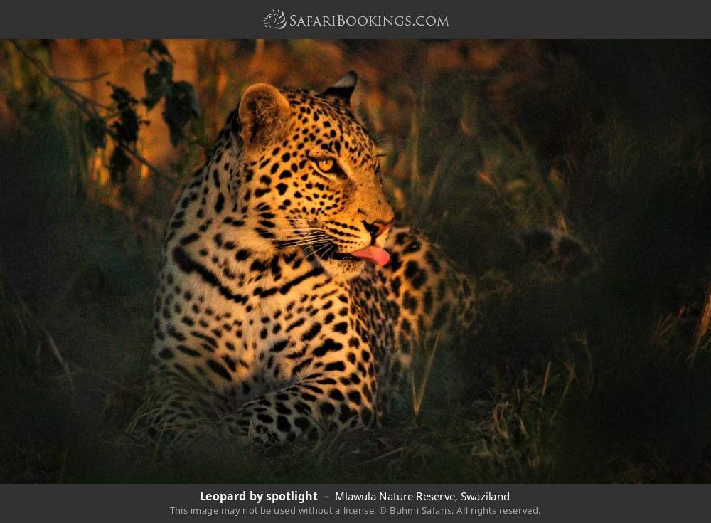 Leopard by spotlight in Mlawula Nature Reserve, Swaziland