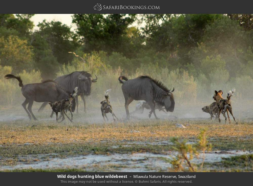 Wild dogs hunting blue wildebeest in Mlawula Nature Reserve, Swaziland