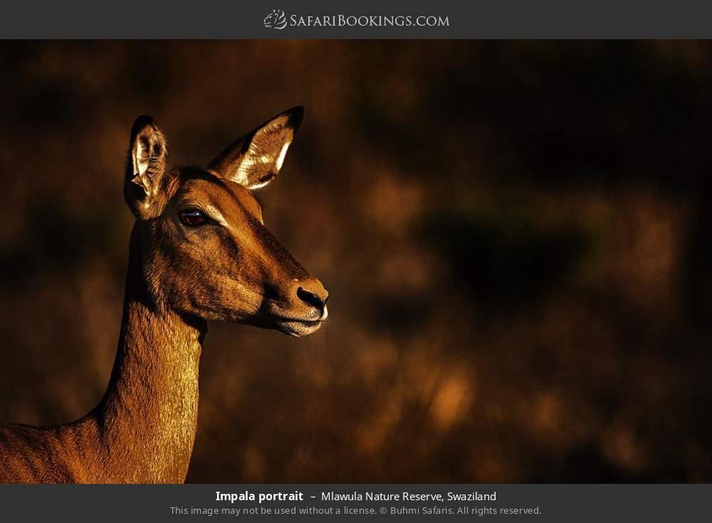 Impala portrait in Mlawula Nature Reserve, Swaziland