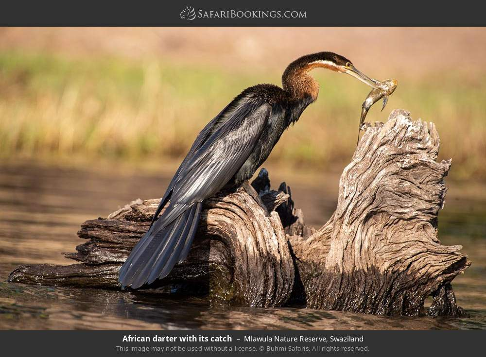 African darter with its catch in Mlawula Nature Reserve, Swaziland
