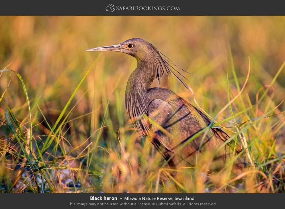 Black heron in Mlawula Nature Reserve, Swaziland