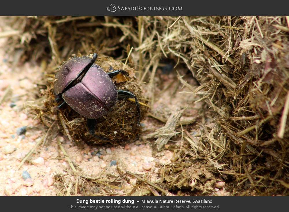 Dung beetle rolling dung in Mlawula Nature Reserve, Swaziland