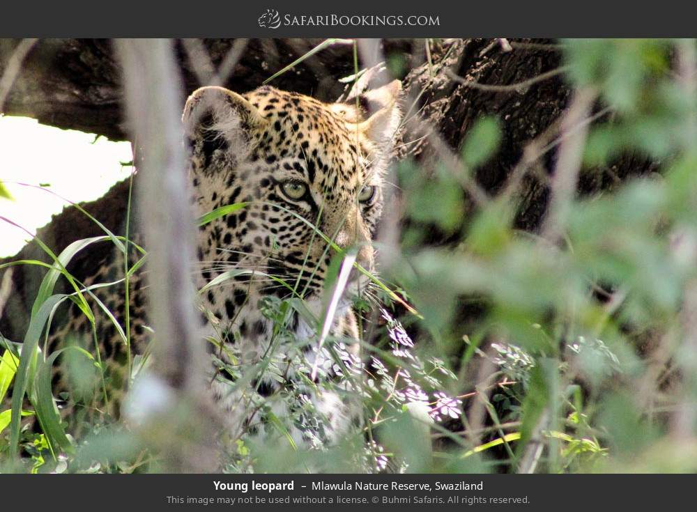 Young leopard in Mlawula Nature Reserve, Swaziland