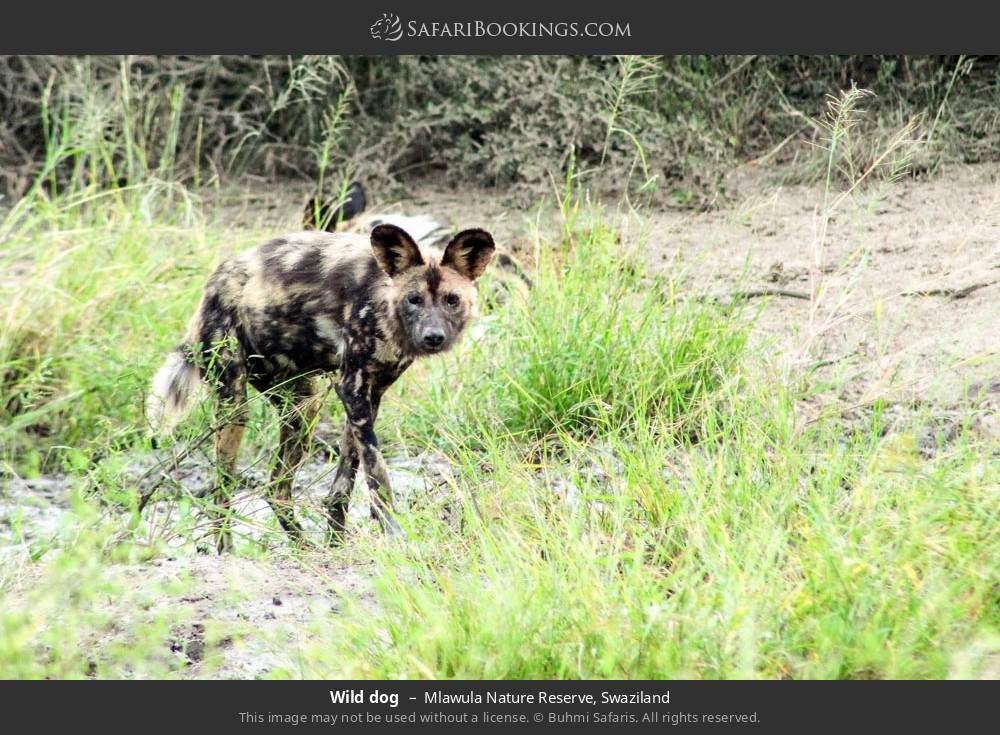 Wild dog in Mlawula Nature Reserve, Swaziland