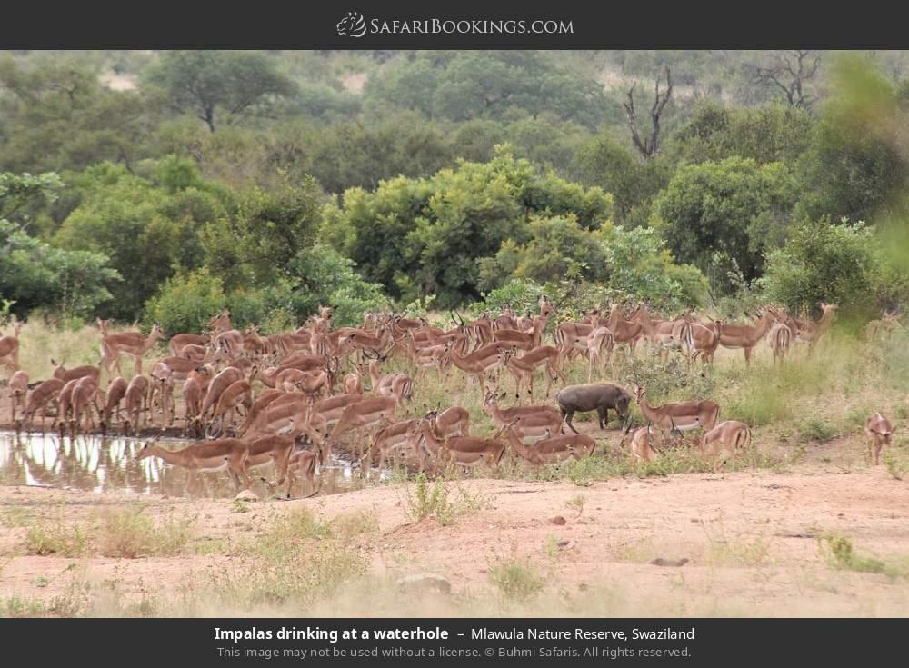 Impalas drinking at a waterhole in Mlawula Nature Reserve, Swaziland