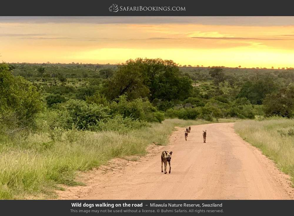 Wild dogs walking on the road in Mlawula Nature Reserve, Swaziland