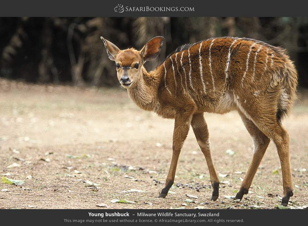 Young bushbuck in Mlilwane Wildlife Sanctuary, Swaziland