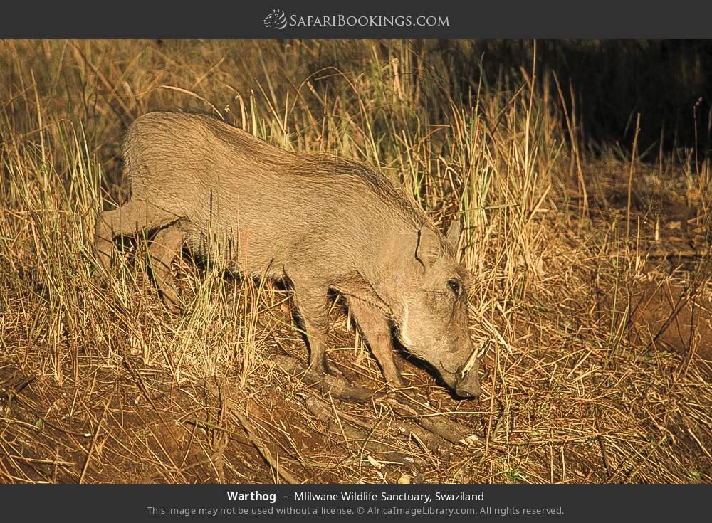Warthog in Mlilwane Wildlife Sanctuary, Swaziland