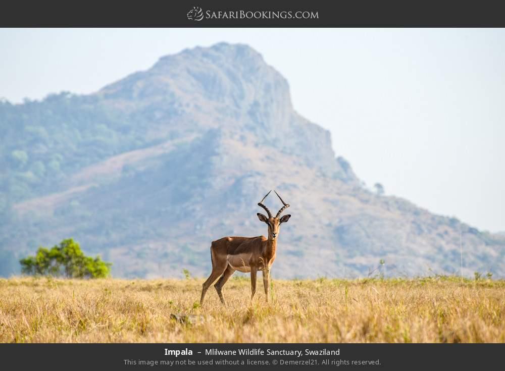 Impala in Mlilwane Wildlife Sanctuary, Swaziland