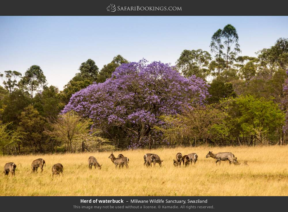 Herd of waterbuck in Mlilwane Wildlife Sanctuary, Swaziland