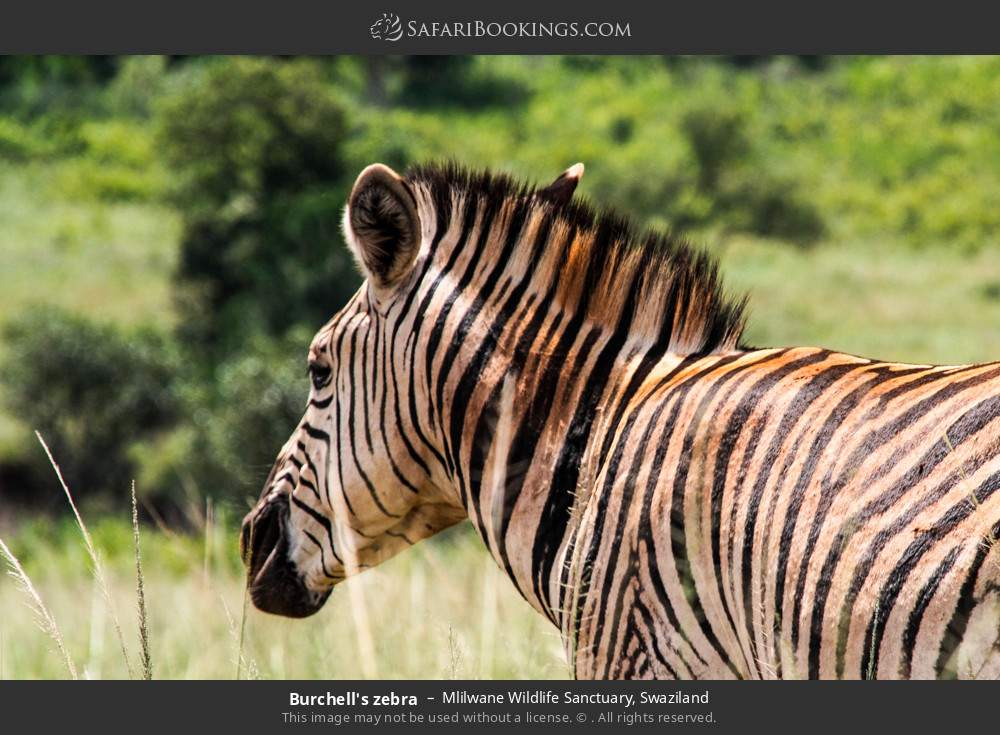 Burchell's zebra in Mlilwane Wildlife Sanctuary, Swaziland