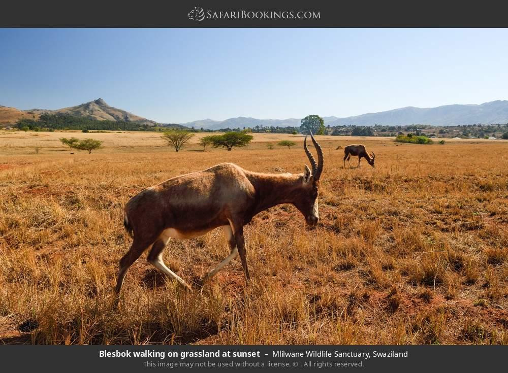 Blesbok walking on grassland at sunset in Mlilwane Wildlife Sanctuary, Swaziland