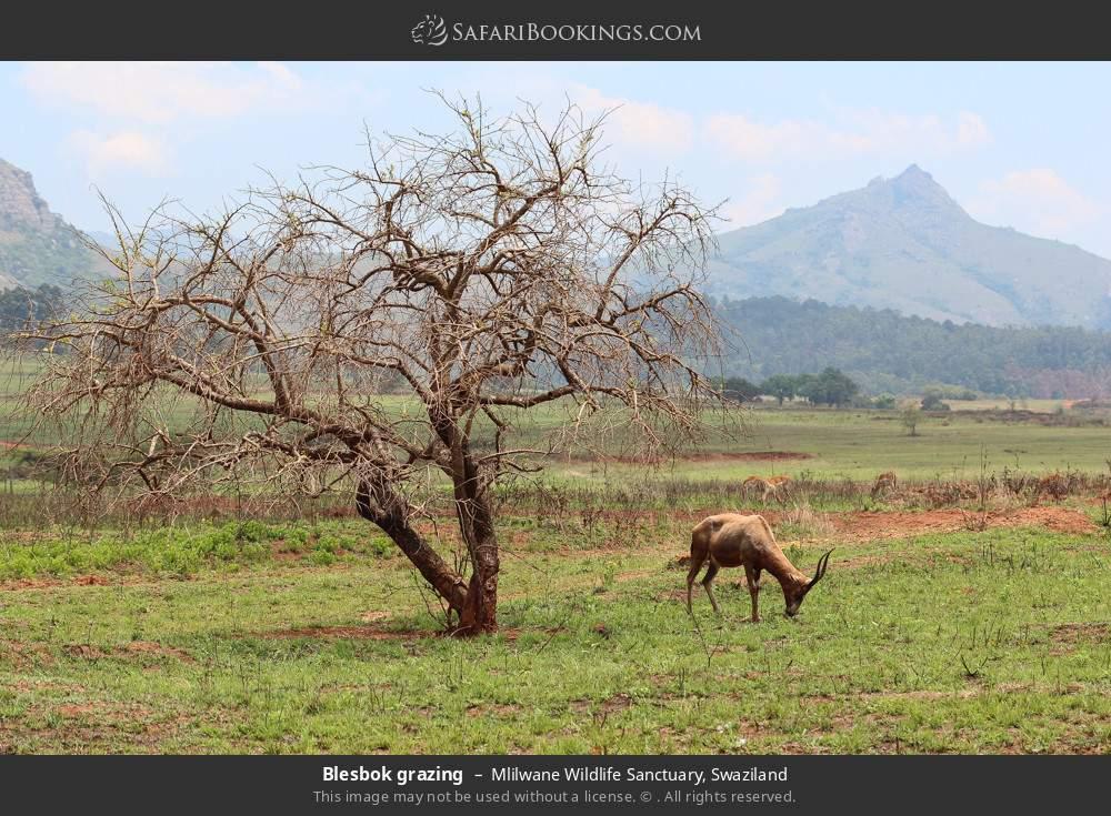 Blesbok grazing in Mlilwane Wildlife Sanctuary, Swaziland