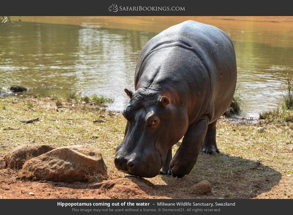 Hippopotamus coming out of the water in Mlilwane Wildlife Sanctuary, Swaziland